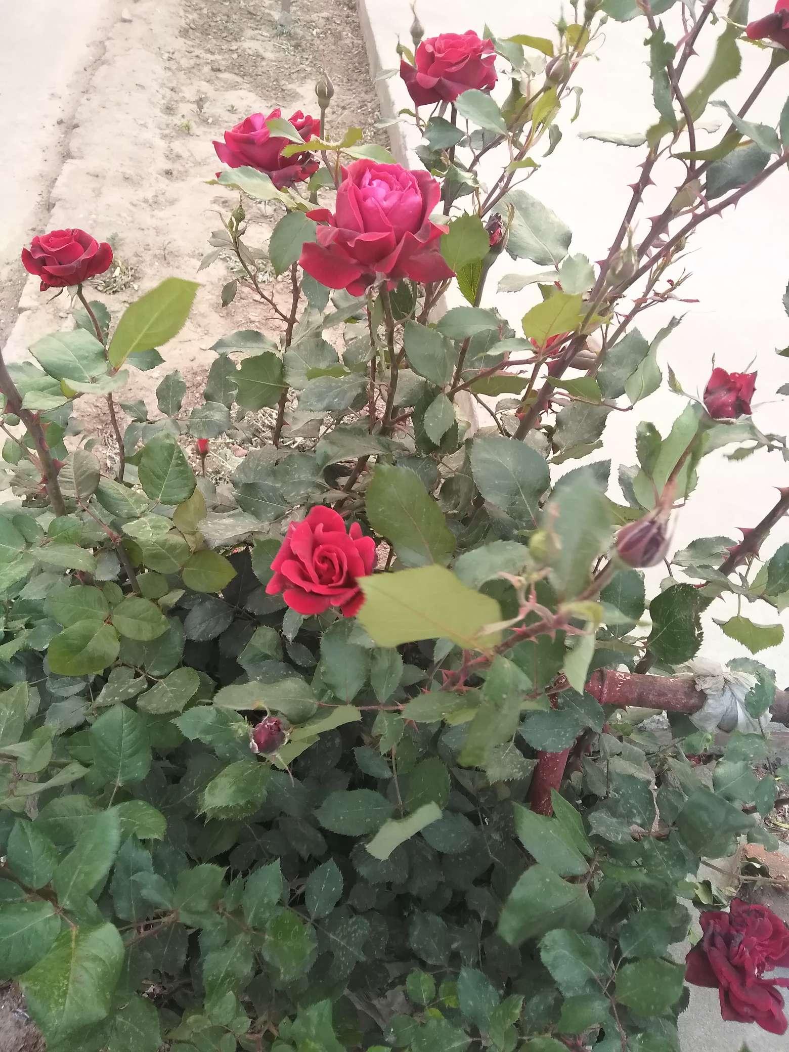 【手绘】依偎着玫瑰的卡宾枪